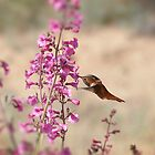 My First Rufous this Year 3 by Judy Grant
