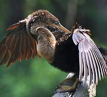 Up Close With An Anhinga by Kathy Baccari