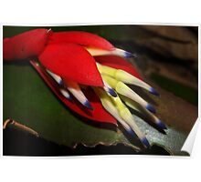 Sultry bromeliad bloom Poster
