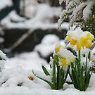 Daffodils in the snow by Marjorie Wallace