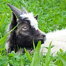 Bagot Goat Kid by Lisa Marie Robinson