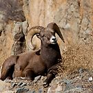 Bighorn sheep 3 by jeff welton