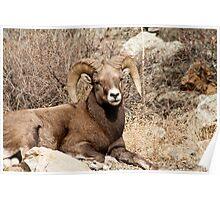 Bighorn Sheep 10 Poster