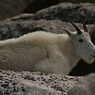 Mountain Goat by jeff welton