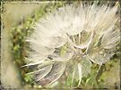 Tragopogon dubius - Yellow Goat's Beard by MotherNature