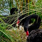 Black Swan Pair Setting on Eggs by Robert H Carney