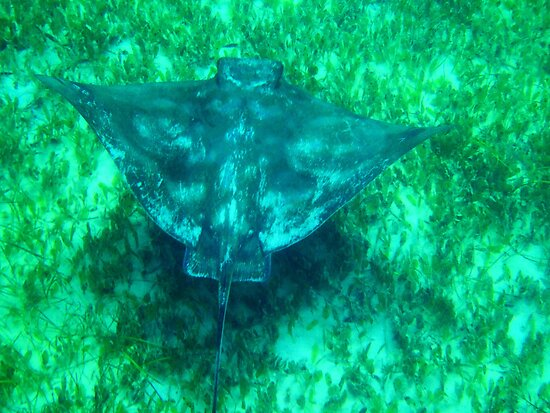 Eagle ray by BigAndRed