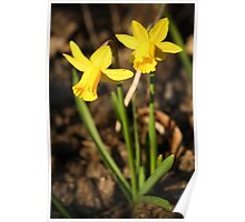 First Daffodils of Spring Poster