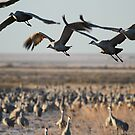 Monte Vista Sandhill Cranes 2 by KatsEyePhoto