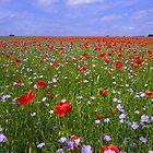 Poppy field in England by sloweater