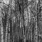 Grove of birch trees by Magdalena Warmuz-Dent