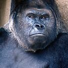 Gorilla - 64 by ©  Paul W. Faust
