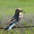 Female Mountain Bluebird by Darcy Overland