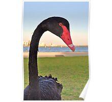 Naughty black swan Poster
