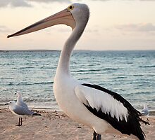 Pelican, Monkey Mia Beach by Keri Buckland