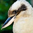 Kookaburra by tracielouise