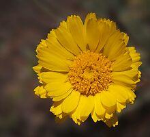 Desert Sunflower by Richard G Witham