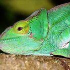 Portrait: Chameleon , Madagascar  by Carole-Anne