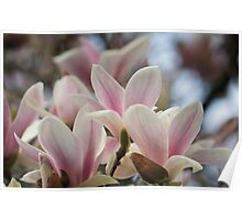 Blooming Magnolia Tree Poster