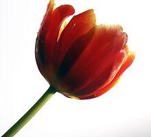 Tulipe by Ilze Romanovska