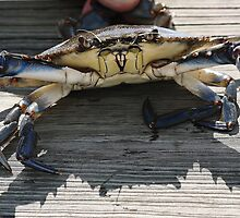 Blue Crab by Paulette1021