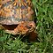 Box Turtle by pixhunter