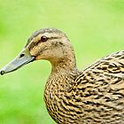 Mallard Portrait by Margaret S Sweeny