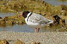 Hooded Plover taken Roadknight Point Victoria by Alwyn Simple