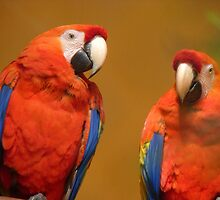 We're A Ravishing Pair... Scarlet Macaws - Otago by AndreaEL