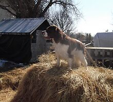 Clyde on Hay by stirlingacre