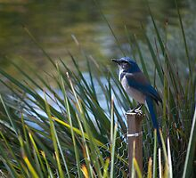 Awaiting Scrub Jay by Diego  Re