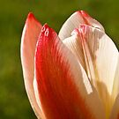 Tulip Split by Deb Maidment