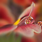 Red primrose refraction by Lyn Evans