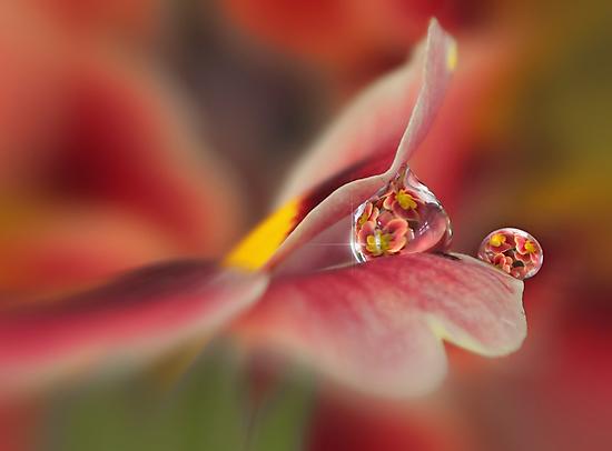 Red primrose refraction by Lyn Evans