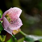 Addicted to Spring - Hellebore by janrique