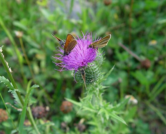 SKIPPERS IN THISTLE by May Lattanzio
