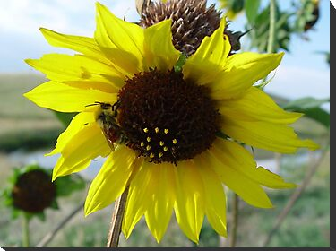 Sunflower and Red-butted Bee by May Lattanzio