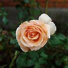 Rain Rose by nicwise