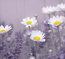 Daisies in Lavendar by Yool
