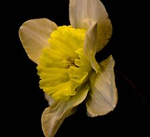 Daffodil on black  by KSKphotography
