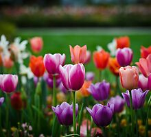 Bloomin' Tulips by Nazm  Photography
