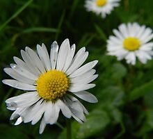 Daisy Trio by Johnathan Bellamy
