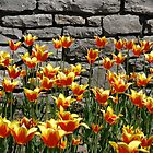 Tulips at the annual Ottawa Tulip Festival by logonfire