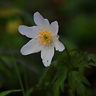 Wild Flowers of Spring, Wood Anemone ( Anemone Nemorosa) by Ian Alex Blease