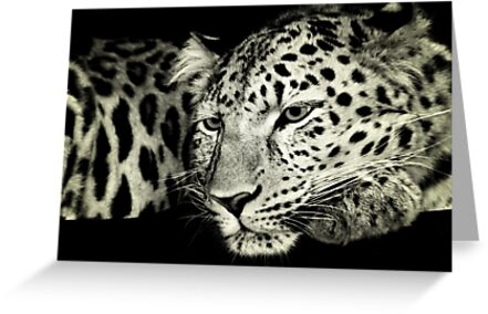 Zane....Amur Leopard by DoreenPhillips