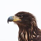 Immature Bald Eagle by Elaine123