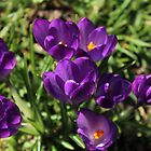 Crocuses in Meadow by karina5