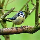 Blue Tit by Russell Couch