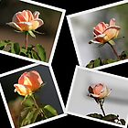 A collection of Four Unusual coloured Rose Buds by alycanon