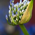Agapanthus buds by Celeste Mookherjee